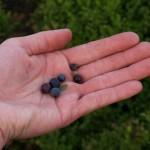 modré malé kulaté sladké