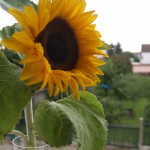 slunecnice-2